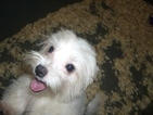 Maltese Puppy For Sale in CARROLLTON, GA,