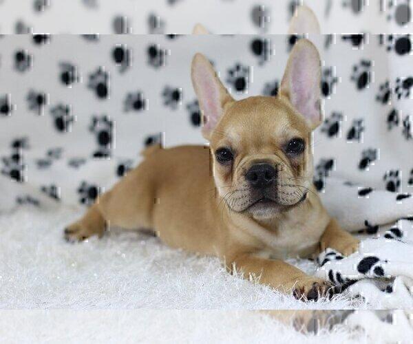 Medium Photo #5 French Bulldog Puppy For Sale in OLD WESTBURY, NY, USA