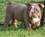 English Bulldog Puppy For Sale in HAGERSTOWN, MD, USA