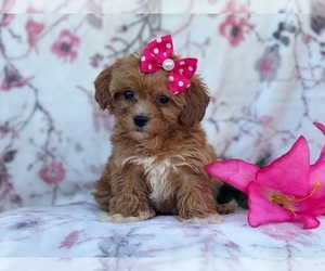 Shih-Poo Dog for Adoption in LAKELAND, Florida USA