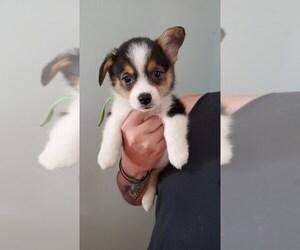 Pembroke Welsh Corgi Puppy for Sale in KOSMOSDALE, Kentucky USA