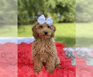Goldendoodle (Miniature) Dog for Adoption in KISSIMMEE, Florida USA