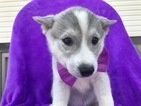 Huskimo Puppy For Sale in QUARRYVILLE, PA, USA