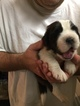 Puppy 6 Saint Bernard