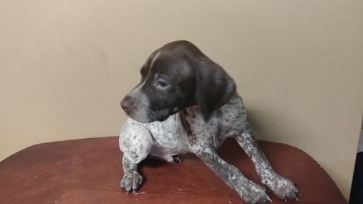 German Shorthaired Pointer Usa View Ad: German Shorth...