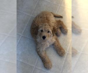 Goldendoodle (Miniature) Puppy for sale in ALEXANDRIA, VA, USA