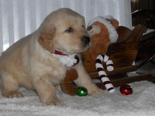 Golden Retriever Puppy For Sale in HOLMESVILLE, OH, USA