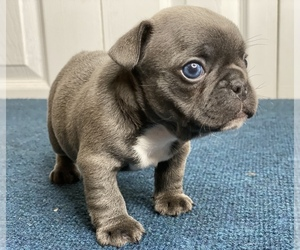 French Bulldog Puppy for Sale in BERWYN, Illinois USA