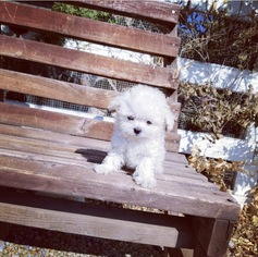 Maltese Puppy for sale in LOS ANGELES, CA, USA