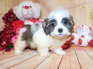 Mal-Shi Dog for Adoption in HAMMOND, Indiana USA