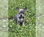 Image preview for Ad Listing. Nickname: Blue Merle