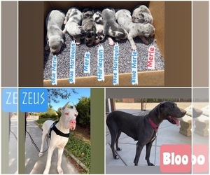 Great Dane Dog for Adoption in FONTANA, California USA