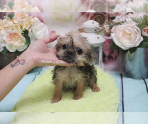 Griffonshire Puppy for sale in LAS VEGAS, NV, USA