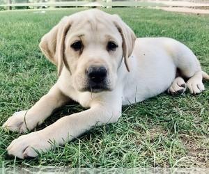 Labrador Retriever Dog for Adoption in DENVER, Pennsylvania USA