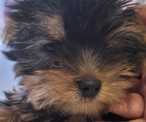 Yorkshire Terrier Puppy for Sale in EL PASO, Texas USA
