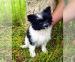 Puppy 2 Yoranian
