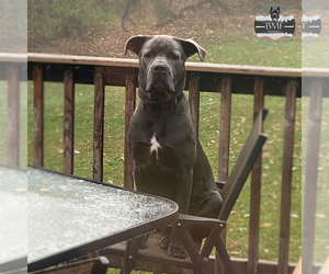 Father of the Cane Corso puppies born on 11/02/2020