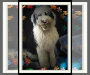Mother of the Sheepadoodle puppies born on 03/10/2021