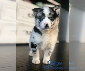 Pomsky Puppy for sale in ADOLPHUS, KY, USA