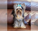 Small Yorkshire Terrier