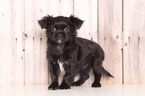 Shinese Puppy For Sale in MOUNT VERNON, OH, USA