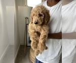 Puppy 0 Goldendoodle-Poodle (Standard) Mix