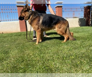 Father of the German Shepherd Dog puppies born on 07/06/2020