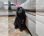 Small #1 Schnoodle (Giant)