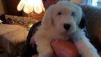 Old English Sheepdog Puppy For Sale in RIDGEFIELD, WA