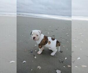 American Bulldog Puppy for Sale in TABOR CITY, North Carolina USA