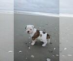 Puppy 1 American Bulldog
