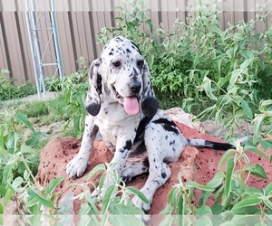 Bloodhound-Catahoula Leopard Dog Mix Puppy for sale in COMMERCE, TX, USA