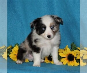 Australian Shepherd Puppy for sale in STRASBURG, PA, USA