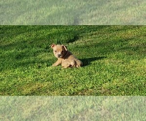 American Bully Puppy for sale in OTHO, IA, USA