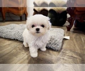 View Ad: Maltese Puppy for Sale near California, LOS ANGELES, USA
