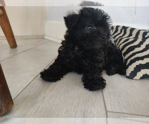 Schnoodle (Miniature) Puppy for sale in CENTERVILLE, FL, USA