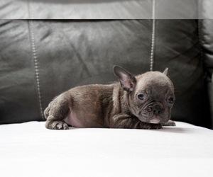 French Bulldog Puppy for Sale in SAN JOSE, California USA