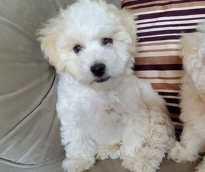 Bichon Frise Puppy for Sale in SNOHOMISH, Washington USA