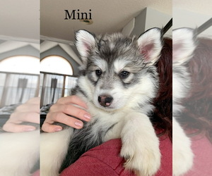 Siberian Husky Puppy for sale in TRIMBLE, MO, USA