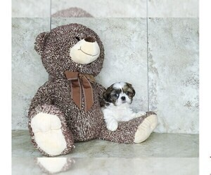 Shih Tzu Puppy for sale in CLEVELAND, NC, USA