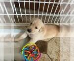 Puppy 5 Golden Labrador