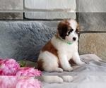 Small #2 Poodle (Miniature)-Saint Bernard Mix