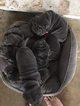 AKC Mini Shar Pei Blue Pups