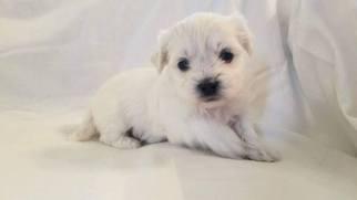 Zuchon Puppy For Sale in MANITOWOC, WI, USA