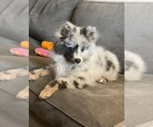 Pomsky Puppy for sale in SUN PRAIRIE, WI, USA