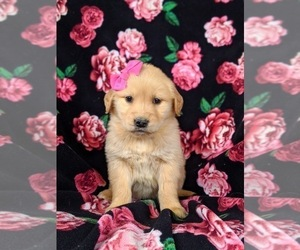 Golden Retriever Puppy for sale in OXFORD, PA, USA