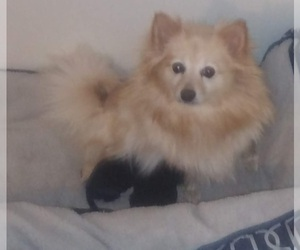 Mother of the Pomeranian puppies born on 08/18/2020