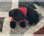 Small #8 Pekingese-Poodle (Toy) Mix