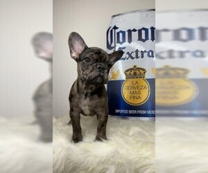 French Bulldog Puppy for Sale in ORLANDO, Florida USA