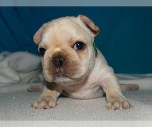 French Bulldog Puppy for sale in VERONA, MO, USA